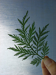 artemisia_annua_by_lnleivan.jpg