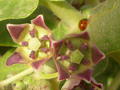 calotropis_procera_by_manuel_m._ramos.jpg