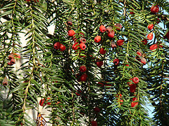 conifer_berries_by_helen.2006.jpg