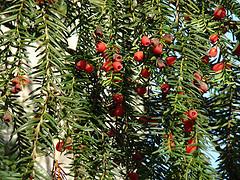 conifer_berries_by_helen.2006.jpg