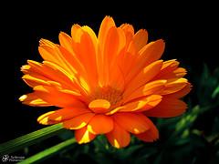 marigold_by_schroppyo.jpg